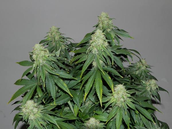 Azienda-per-vendita-cannabis-di-ottima-qualita