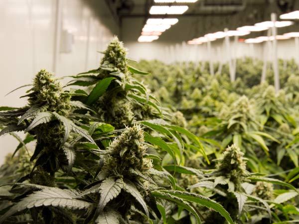 Cannabis-light-a-domicilio-in-tempi-brevi