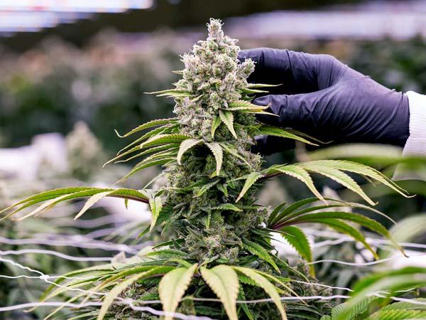 Distributore-cannabis-legale-di-ottima-qualita