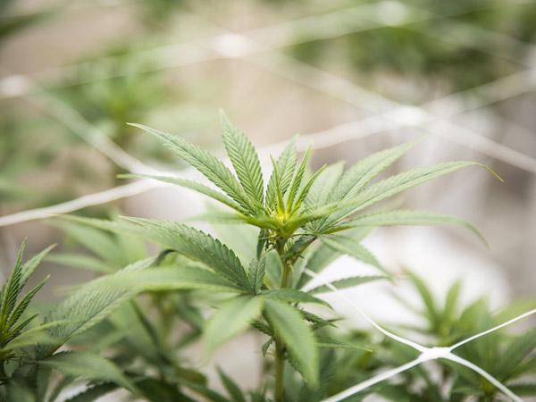 Pagamenti-in-contrassegno-di-infiorescenze-di-cannabis-light