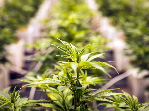 cannabis-come-soluzione-terapeutica