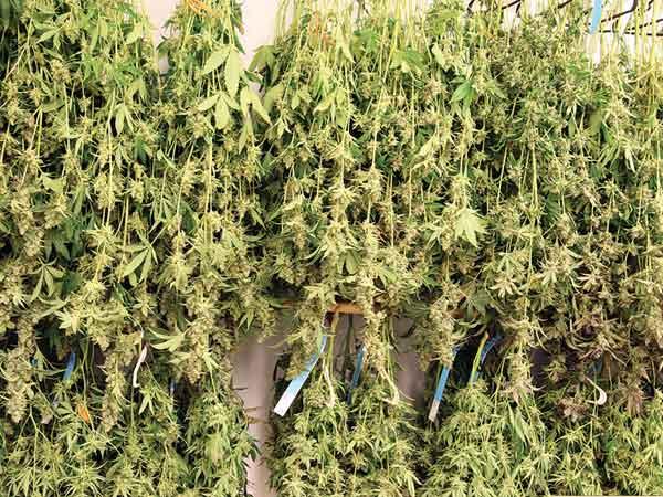 legare-le-piante-a-testa-in-giu