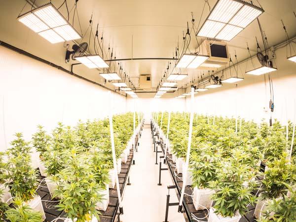 coltivazione-canapa-light-con-impianto-idroponico