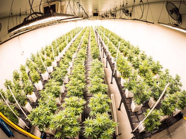 coltivazione-indoor-canapa-legale