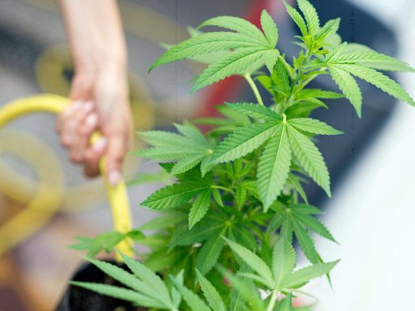 fertilizzati-di-alta-qualità-per-coltivazione-di-cannabis