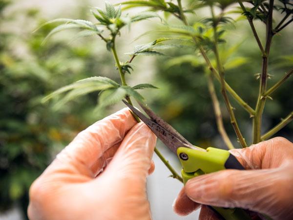 grow-room-per-coltivazione-indoor-cannabis-legale