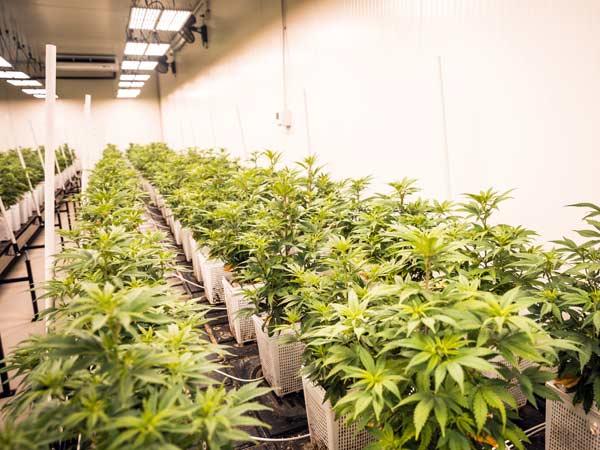 luce-per-coltivazione-indoor-migliori-infiorescenze