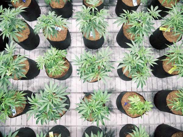 metodo-di-coltivazione-indoor-idroponico-di-canapa