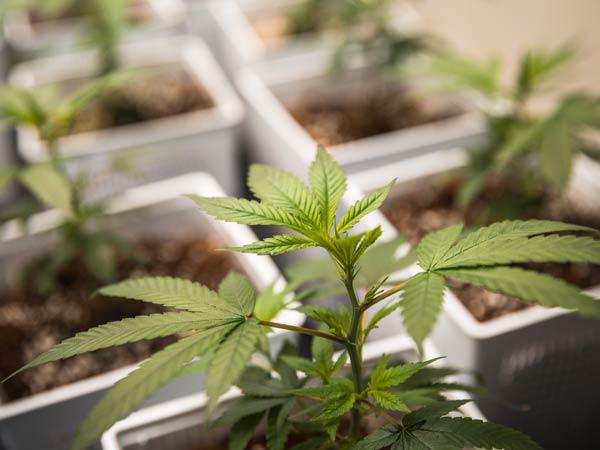 produzione-cannabis-legale-con-alto-cbd