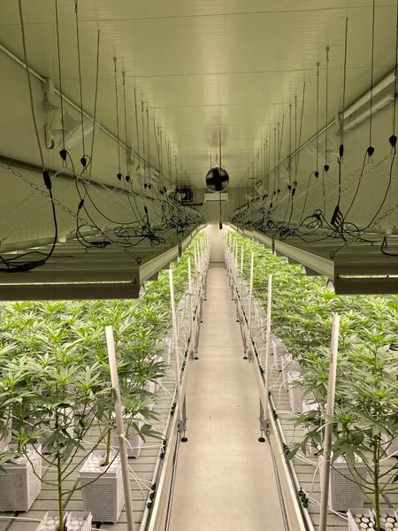 tecniche-di-coltivazione-di-migliori-infiorescenze-di-canapa