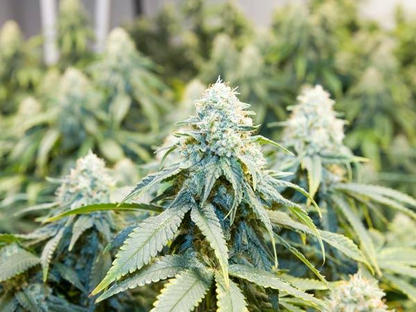 temperatura-coltivazione-cannabis-legale-indoor