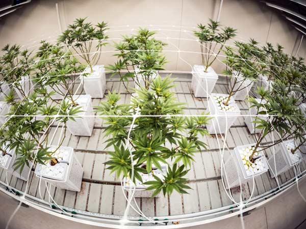 temperatura-per-coltivazione-cannabis-legale