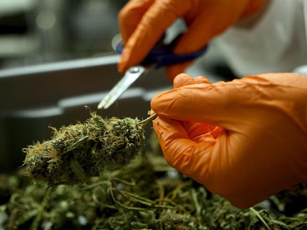 trimming-delle-cime-per-cannabis-light